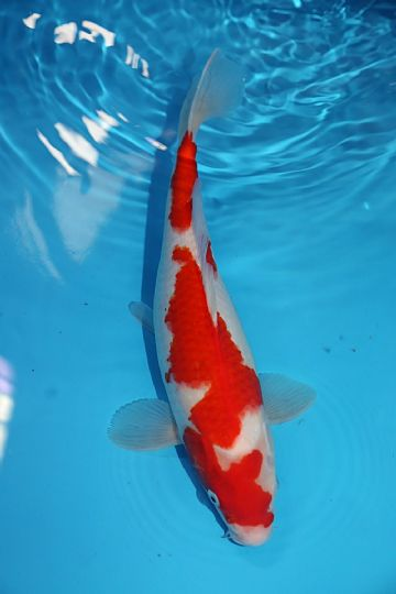 "Kohaku-Koi For Sale 14"" 0489"